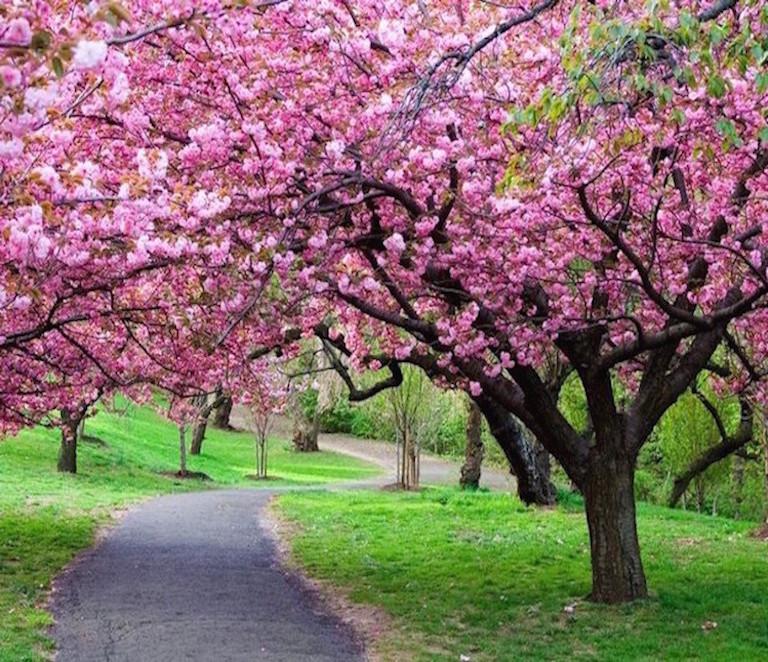 Free-shipping-100pcs-bag-Pink-Cherry-Blossoms-tree-Seeds-sakura-seeds-flower-home-garden