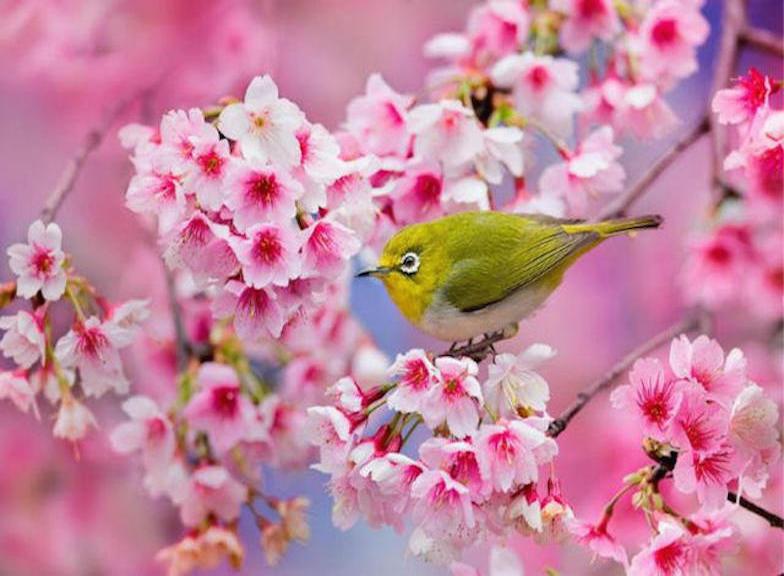 cerezos, primavera, japon,
