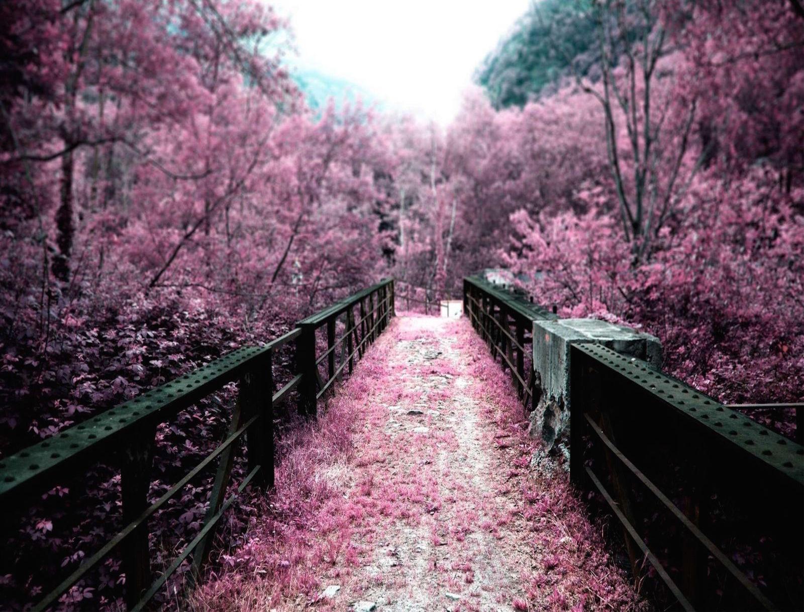 cherry_blossoms_on_a_bridge_hd_wallpaper