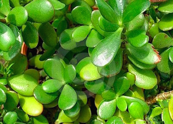 5 plantas que atraen dinero a tu vida mujer chic - Como atraer dinero y buena suerte ...