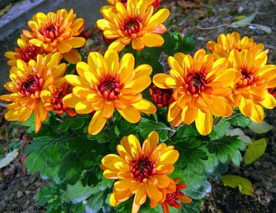 crisantemos-1