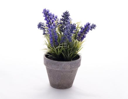 Image result for Planta de lavanda